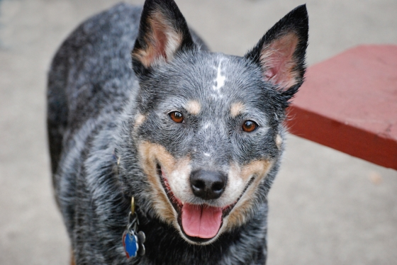 Quigley is an Australian Blue Heeler that we rescued.