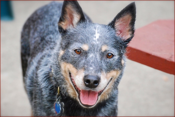 Quigley, our funny little cattle dog.